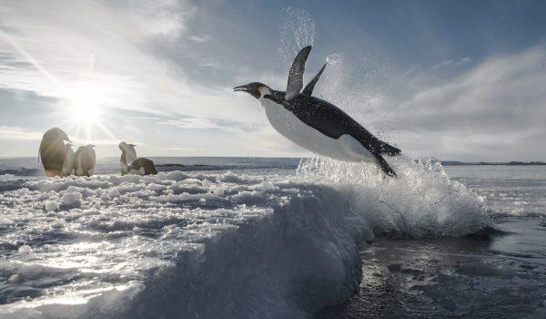 4_Manchot Empereur de retour de pêche ©Vincent Munier_Expédition Wild-Touch Antarctica!